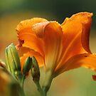 orange lily by ANNABEL   S. ALENTON