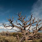 Beauty in things past their prime - Bristlecone Pine by barnsis