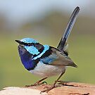 Blue Wren 2 by robmac