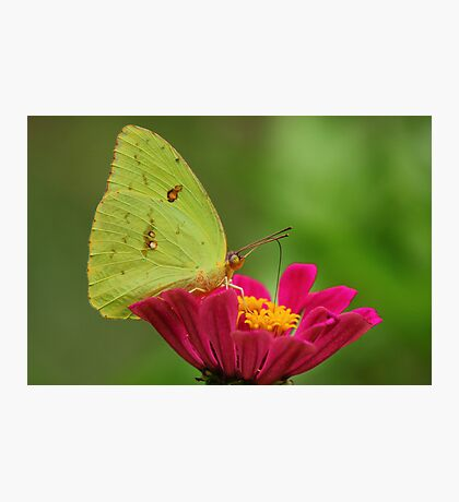 Yellow Butterfly on Pink Zinnia Photographic Print