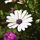 African Daisy 2 by Helmar Designs