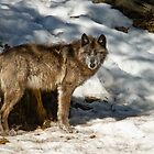 Black Wolf In Snow by WolvesOnly