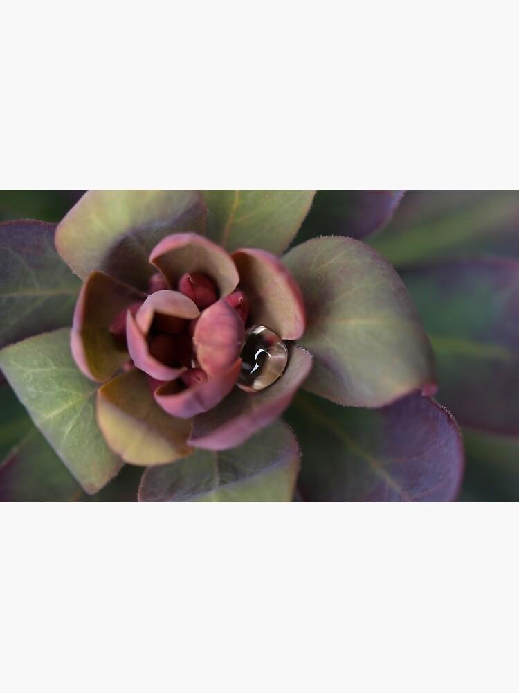 Euphorbia Blackbird von mcdoto