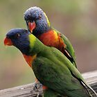 Rainbow Lorikeet with Luv by Tom McDonnell