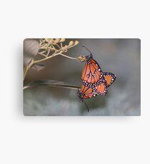 Queen butterflies mating Canvas Print
