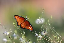 Queen in morning light by ruth  jolly