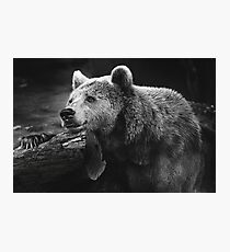 bear, black and white Photographic Print