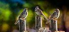Serenade of birds by LudaNayvelt
