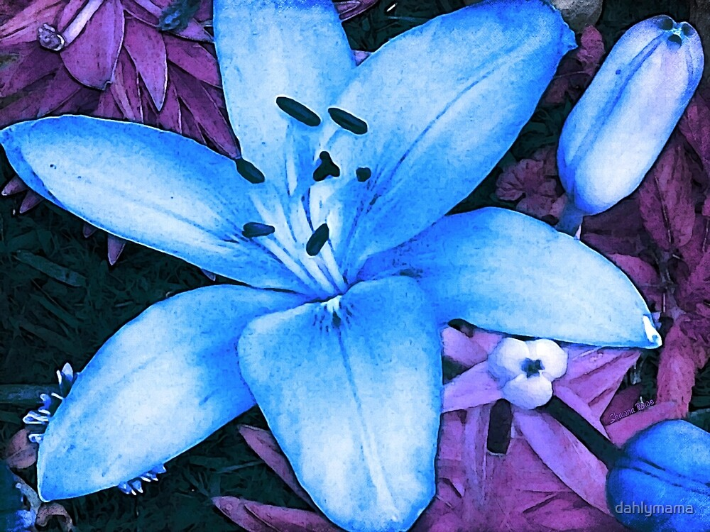 Blue Asiatic Lily by Shawna Rowe