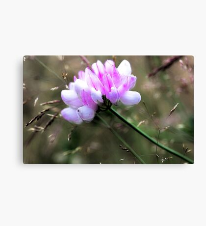 Crown Vetch - In Tall Meadow Grass Canvas Print