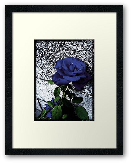 Late Summer Rose - Blue Velvet by Shawna Rowe