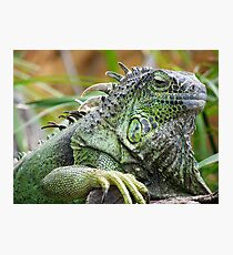 Bearded Iguana Photographic Print