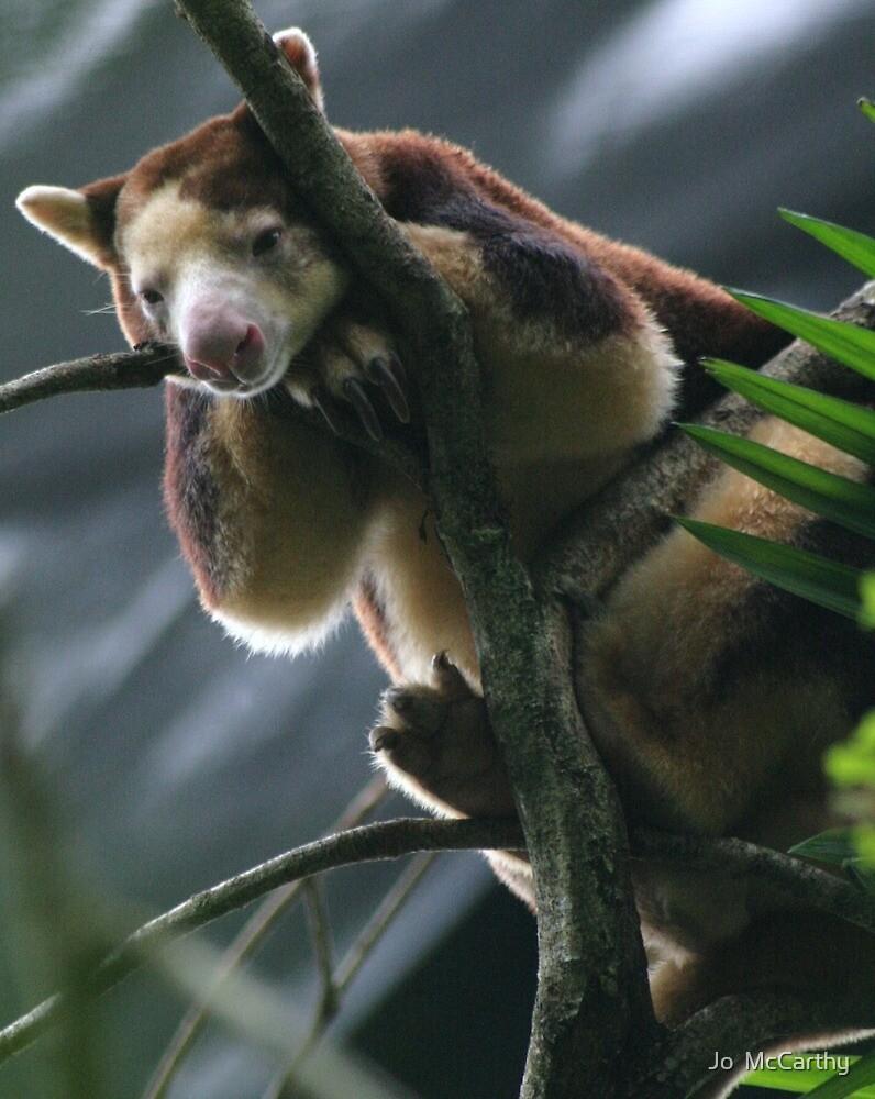 Bennett's Tree Kangaroo  - Dendrolagus bennettianus by Jo  McCarthy