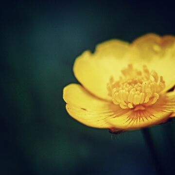 Buttercup flower  by InspiraImage