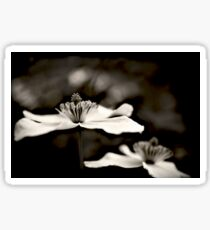 Clematis flower (in black and white) Sticker