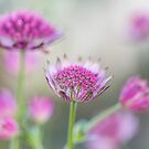 Astrantia softness by Zoe Power