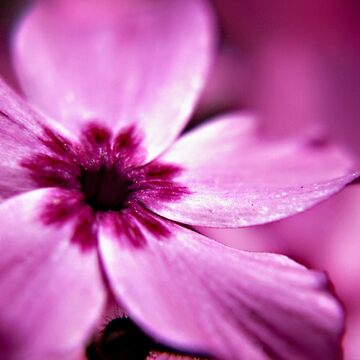 Pink Dwarf Phlox flower by InspiraImage