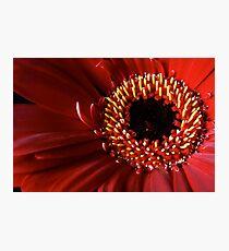 Red Gerbera flower macro Photographic Print