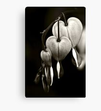 Bleeding Hearts (Dicentra) flowers in black and white Canvas Print