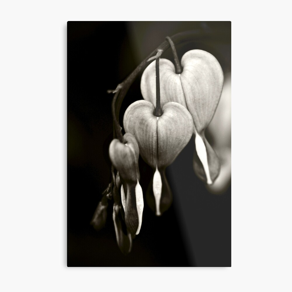Bleeding Hearts (Dicentra) flowers in black and white Metal Print