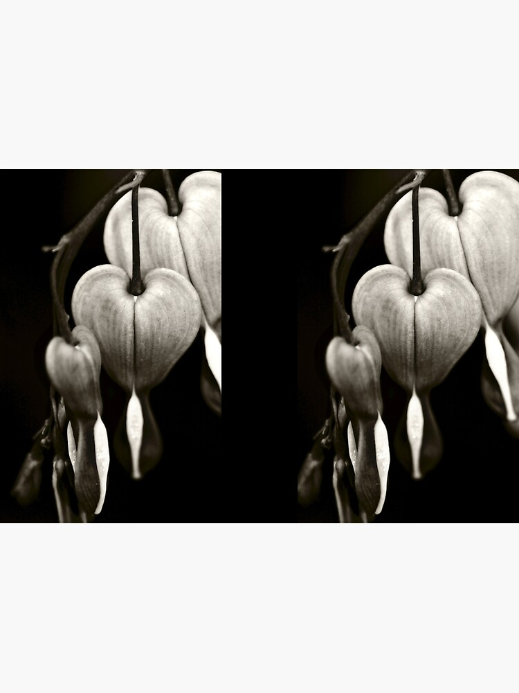 Bleeding Hearts (Dicentra) flowers in black and white by InspiraImage