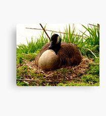 Nesting Canada Goose Canvas Print