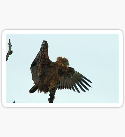 BROWN SNAKE EAGLE - Circaelus cinereus – Bruin Slangarend Sticker
