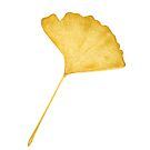 Autumn Gingko Leaf by Jarrod Hall Art