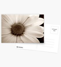 White Chrysanthemum sepia flower Postcards