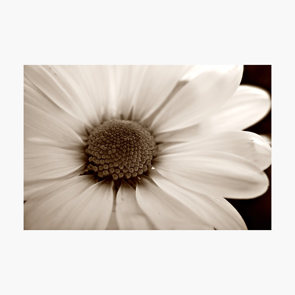 White Chrysanthemum sepia flower Photographic Print