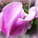 Cyclamen Flower - neighbour's garden by EdsMum