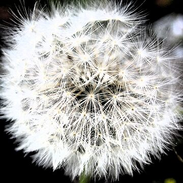 Painted Dandelion by KimberlyNic