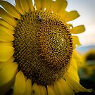 Sunflower by makbet666