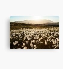 Cotton Grass Canvas Print