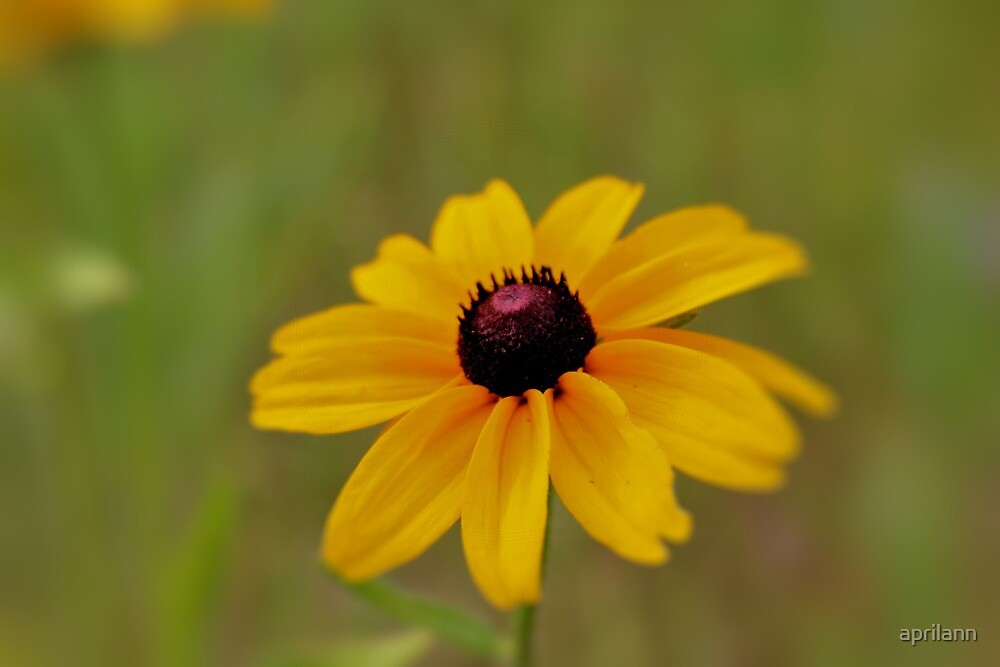 Beautiful Black-Eyed Susan by aprilann
