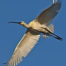 Spoonbill in flight by Konstantinos Arvanitopoulos