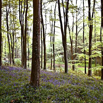Bluebell Woods by dopeytree