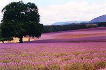 Lavender Farm by Michael John