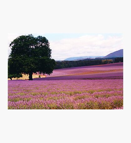 Lavender Farm Photographic Print