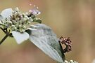 Small Worm on Frosted Wild Mountain Mint by NatureGreeting Cards ©ccwri