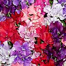 Colourful Sweet Peas by Stephen Frost