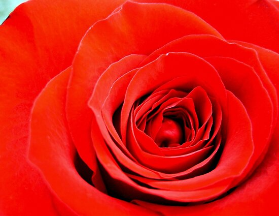 red rose by studenna