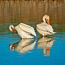 White pelicans by Susan P Watkins