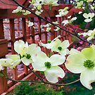 Dogwood in Bloom - For My Sister by kcd-designs