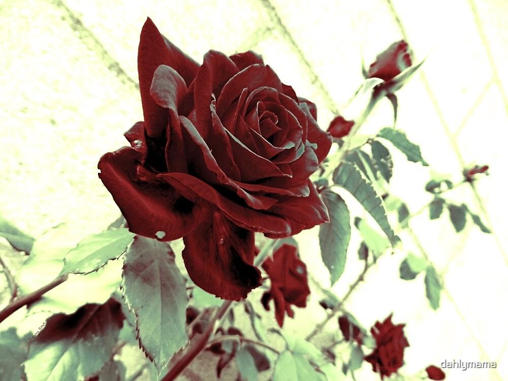 Melancholy Rose by Shawna Rowe