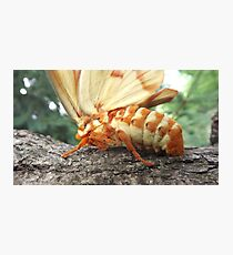 Hickory Horned Devil Photographic Print