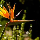Bird of Paradise by Martie Venter