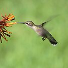 Ruby Throat Hummingbird by Bob Hardy