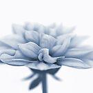 Dahlietta Amy Cyanotype by John Edwards