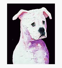 American Bully Photographic Print